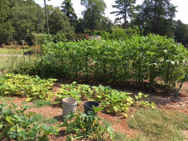 Growing okra