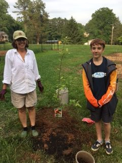 Planting a Gala apple tree